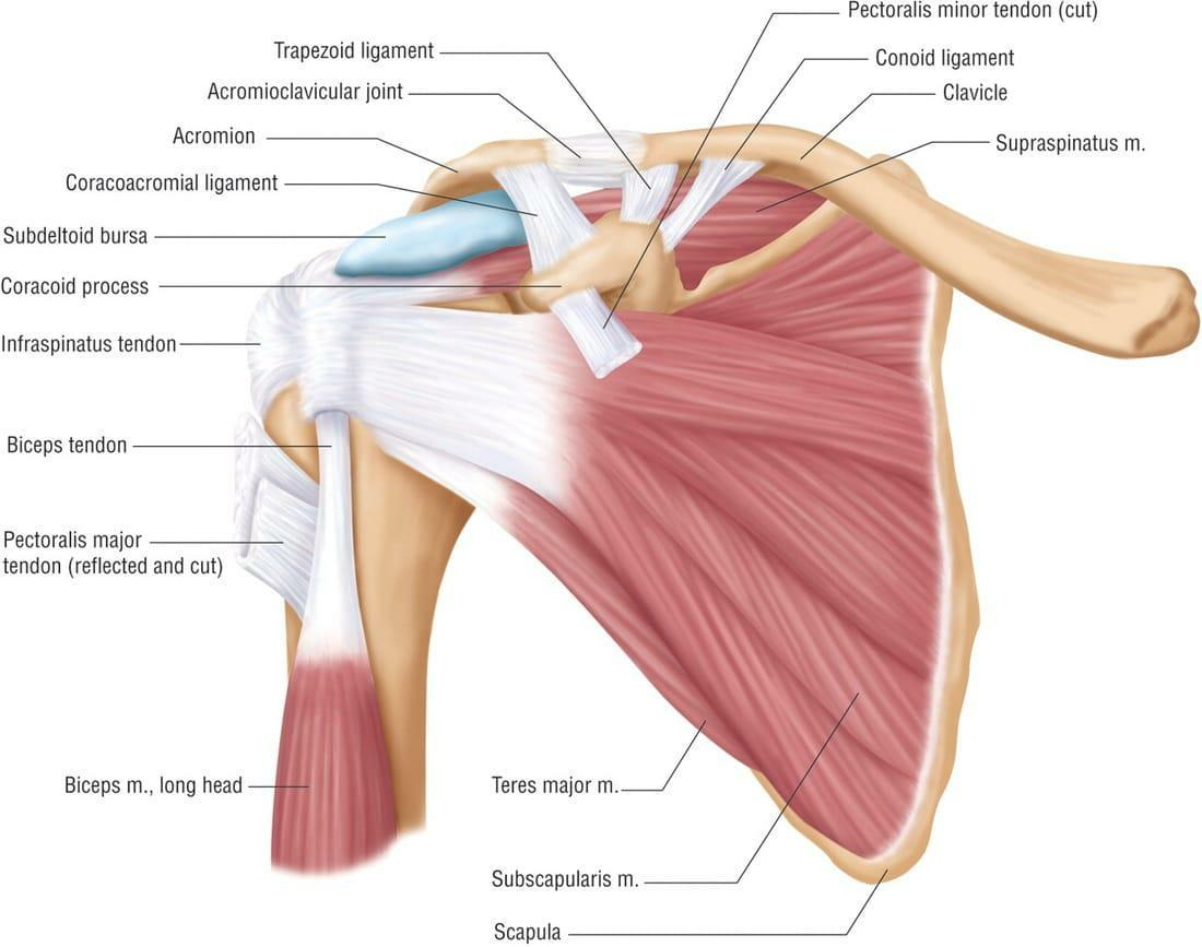 Frozen Shoulder and the Anatomy of the shoulder at your chiropractor in knoxville